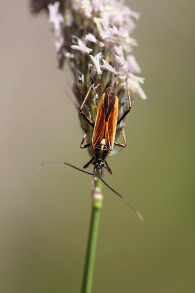 Plant Bug (Miridae)