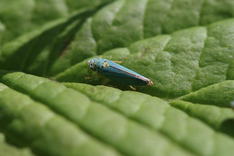Sharp Shooter (Cicadellidae)