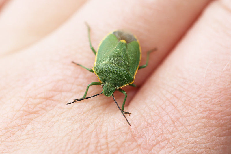 Green Stink Bug (Pentatomidae)