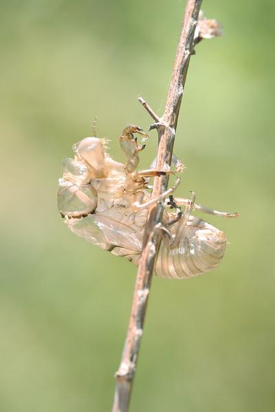 Cicada Exuvia (Cicadoidea)