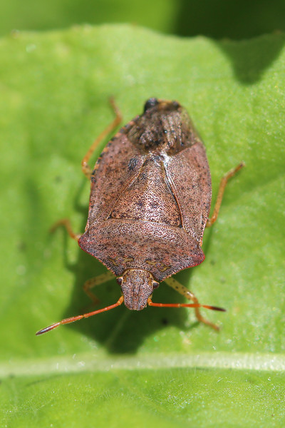 Brown Stink Bug (Pentatomidae)