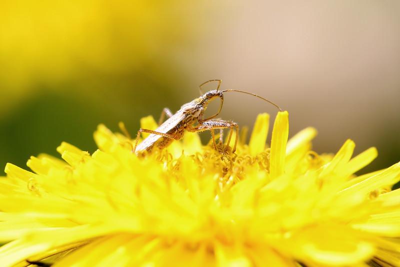 Damsel Bug (Nabidae)