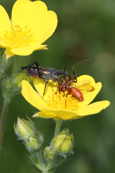 Assassin Bug (Reduviidae)