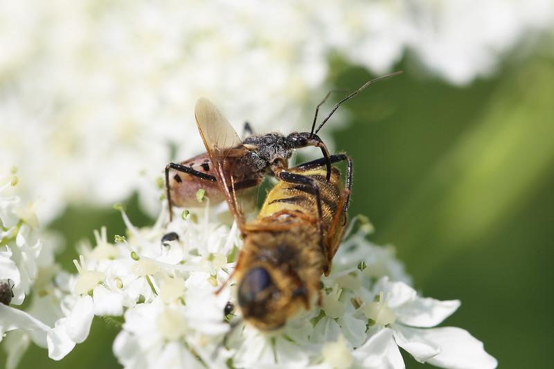 Assassin Bug Feeding (Reduviidae)
