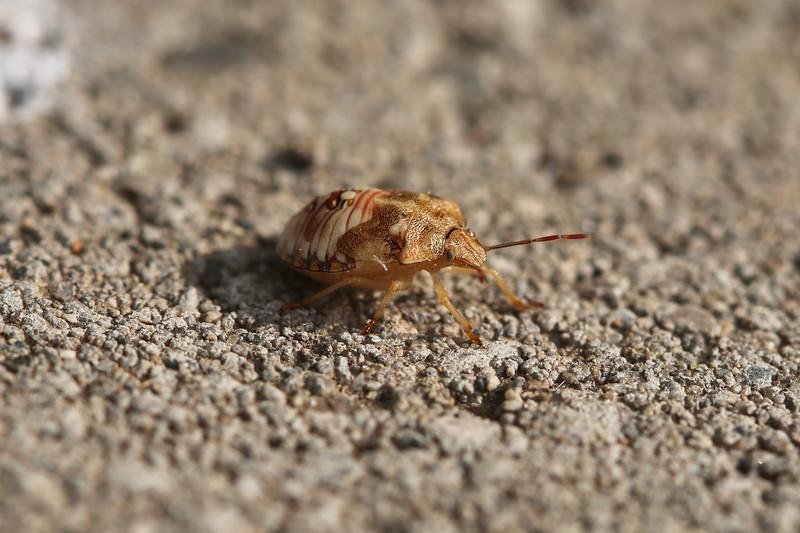 Immature Stink Bug (Pentatomidae)