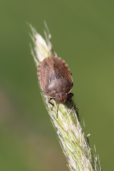 Shield-Backed Bug (Scutelleridae)