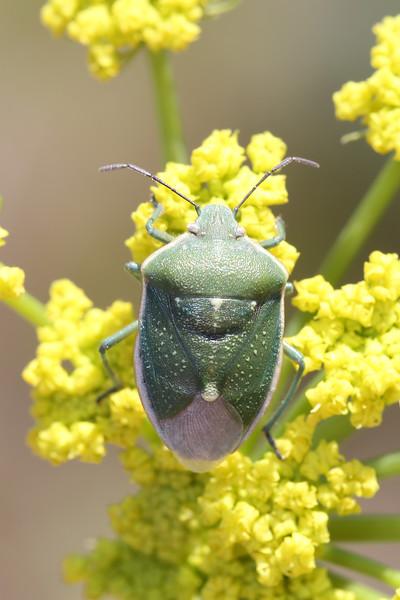 Green Stink Bug (Pentatomidae)