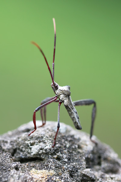 Leaf-footed Bug Nymph (Coreidae)