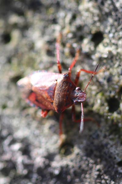 Predatory Stink Bug (Asopinae)