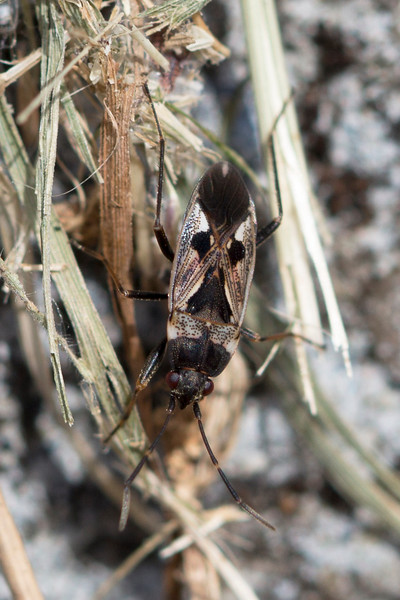 Dirt-Colored Seed Bug (Rhyparochromidae)