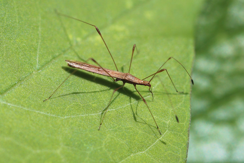 Stilt Bug (Berytidae)