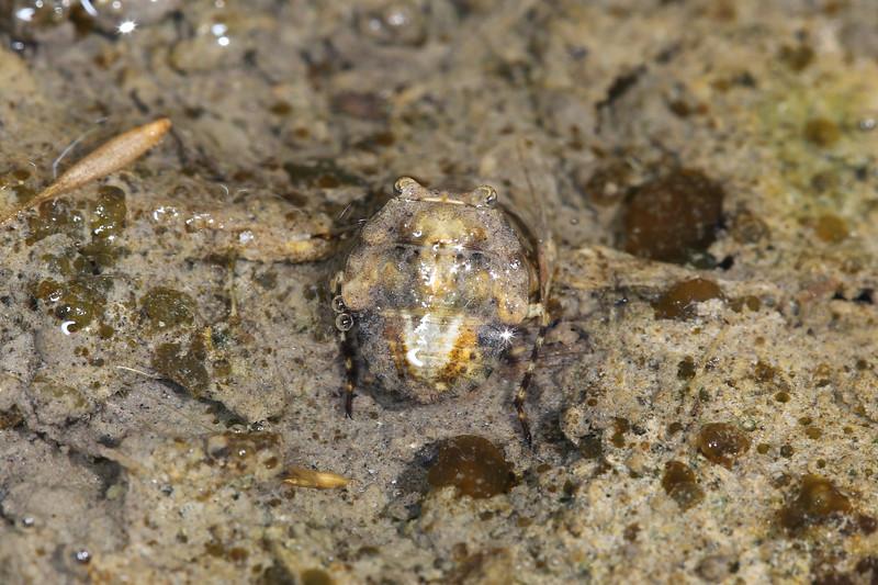 Toad Bug (Gelastocoridae)