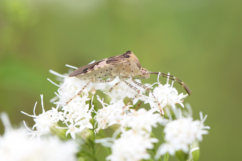 Unidentified Hemipteran