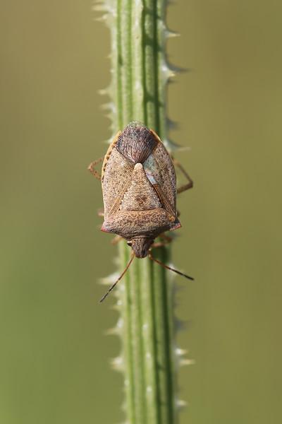 Brown Stink Bug (Pentatomidae)