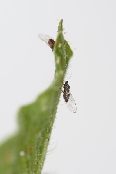 Potato Psyllid (Bactericera cockerelli)