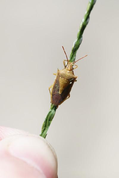 Unidentified Stink Bug (Pentatomidae)