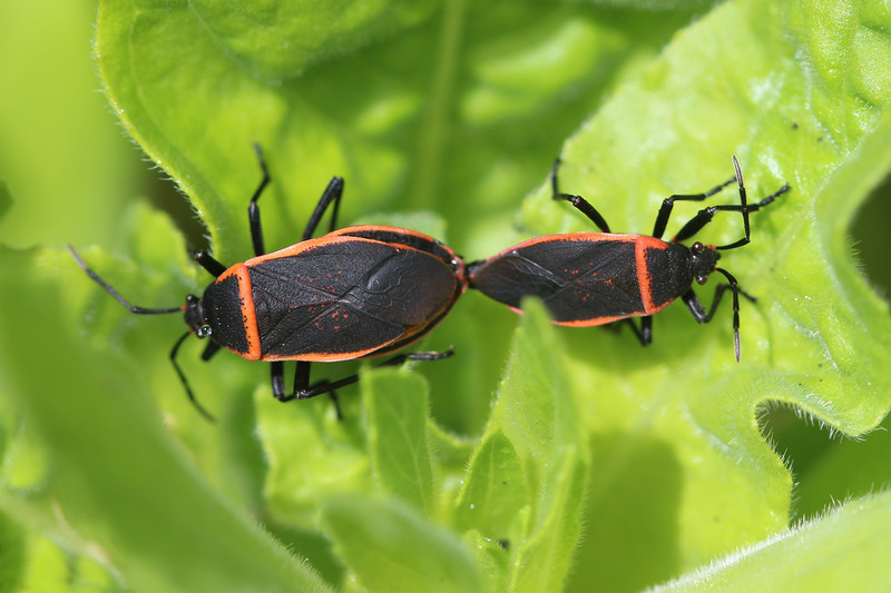 Bordered Plant Bug (Largidae)