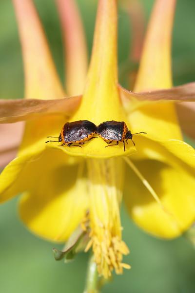 Stink Bugs Mating (Cosmopepla)