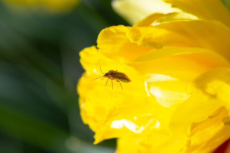 Lygus Bug (Lygus)