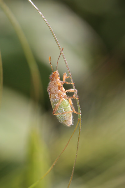 Scentless Plant Bug (Rhopalidae)