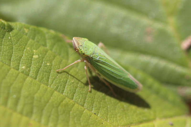 Leafhopper (Cicadellidae)