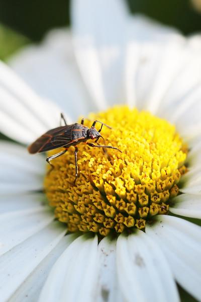 Western Boxelder Bug (Boisea rubrolineata)