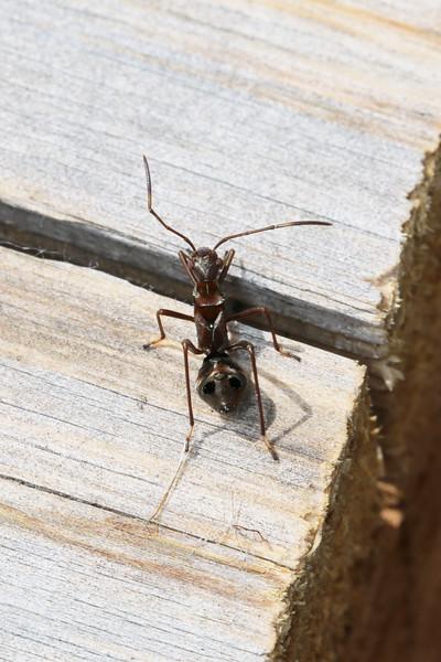 Broad-headed Bug (Alydidae)