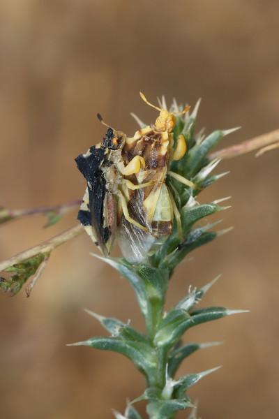 Jagged Ambush Bugs Mating (Phymata)