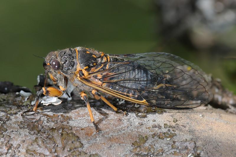 Cicada (Cicadidae)