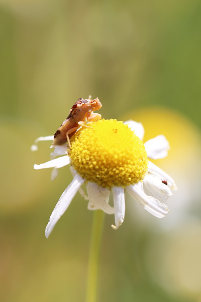 Jagged Ambush Bug (Phymata)