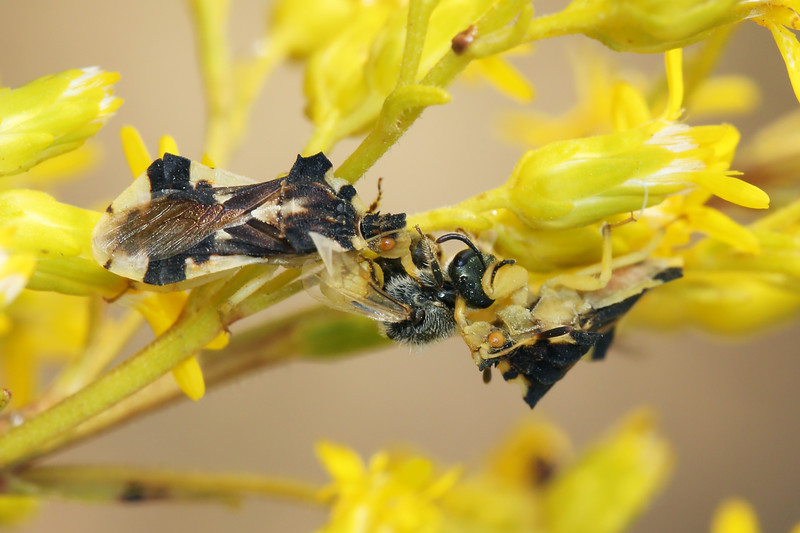 Jagged Ambush Bugs Feeding (Phymata)