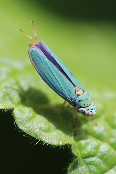 Sharpshooter (Cicadellinae)