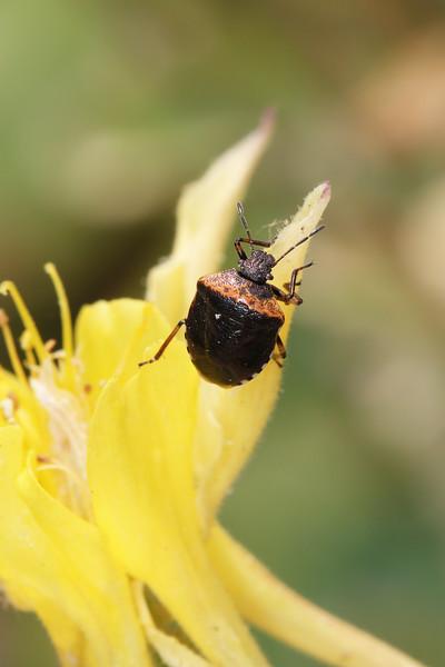 Stink Bug (Pentatomidae)