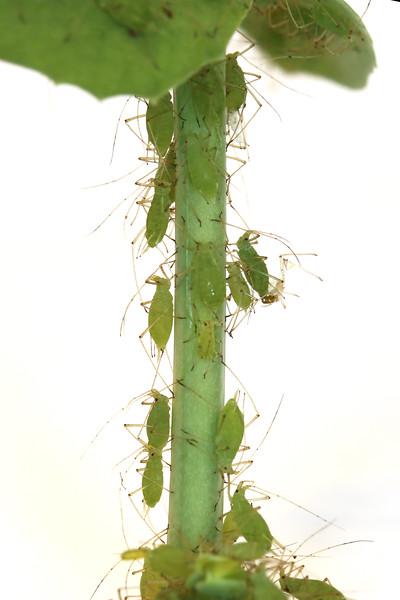Aphids (Aphidoidea)