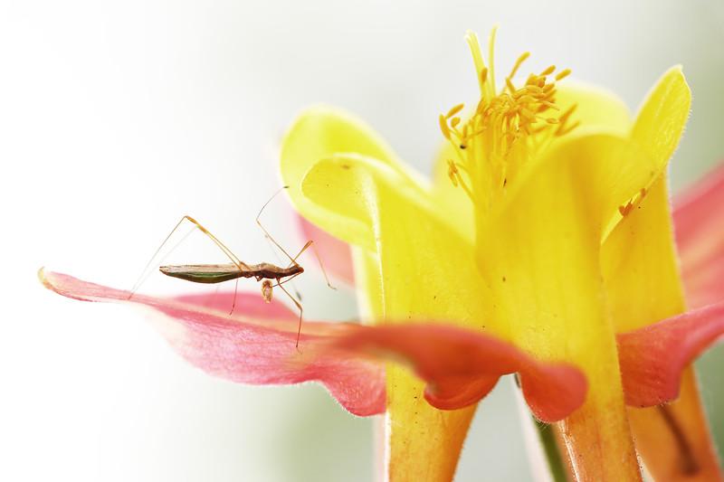 Stilt Bug (Berytidae)