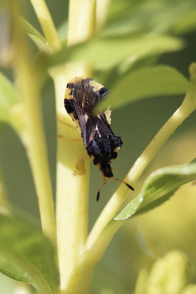 Jagged Ambush Bug (Phymata)