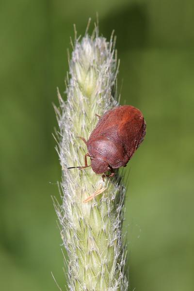 Shield-Backed Bug (Scutelleridae)