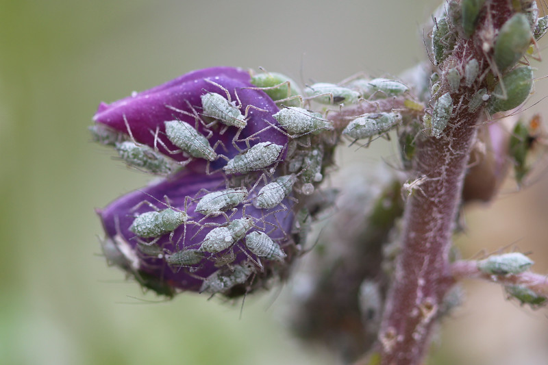 Aphids (Aphididae)