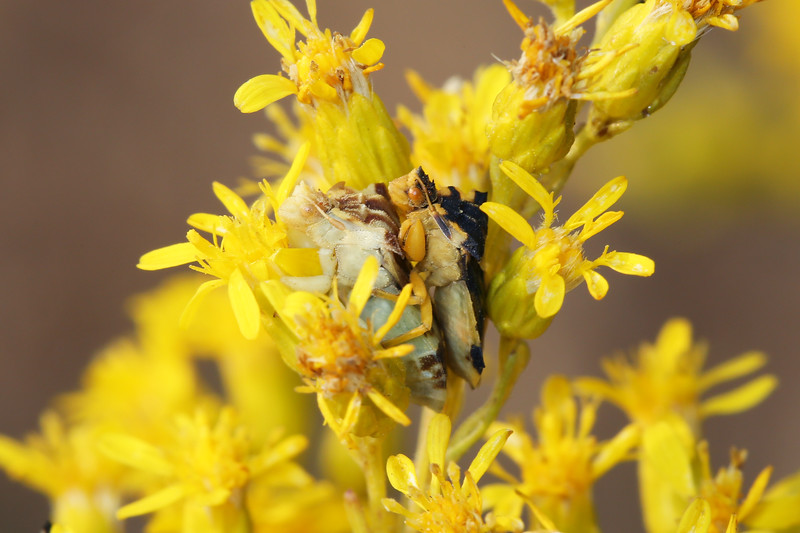 Jagged Ambush Bugs Mating (Phymata)