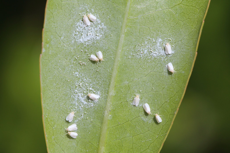Whiteflies (Aleyrodidae)