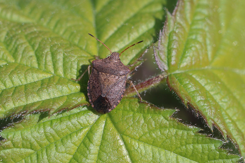 Consperse Stink Bug (Euschistus conspersus)