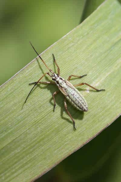 Plant Bug Nymph (Miridae)