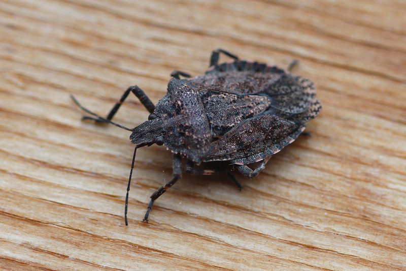 Rough Stink Bug (Brochymena)