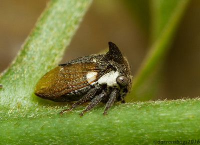 Treehopper - Membracidae: genus Centrotus, from Chiang Mai, Thailand.