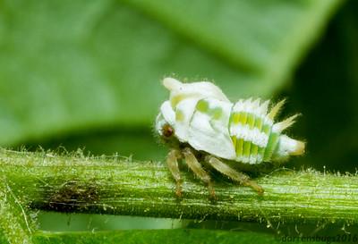 Treehopper nymph, Membracidae: genus Enchenopa, from Iowa, USA).