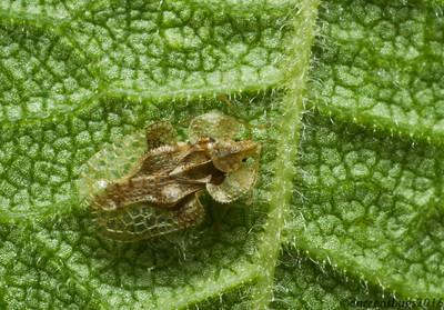 A beautiful and well-camouflaged lace bug (Tingidae: genus Corythucha) feeds on the underside of a leaf. (Iowa, USA).