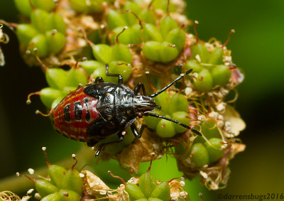 Stink bug nymph, family Pentatomidae (Wisconsin, USA).