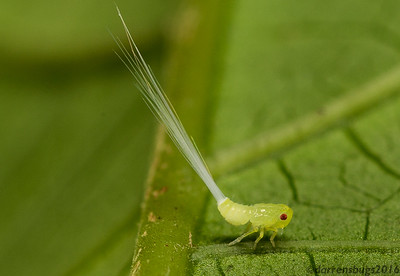 Planthopper nymph (superfamily Fulgoroidea) from Belize.