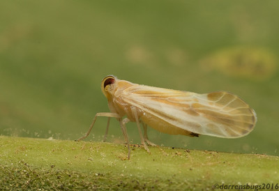 Derbid planthopper (Fulgoroidea: Derbidae) from Belize.