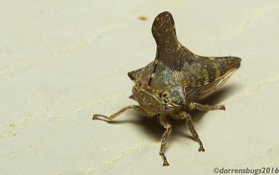 Treehopper, Membracidae - Glossonotus acuminatus  (Iowa, USA).